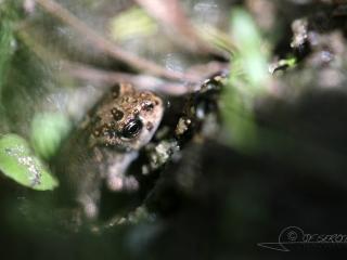 Crapelet de Crapaud calamite (Epidalea calamita) – France