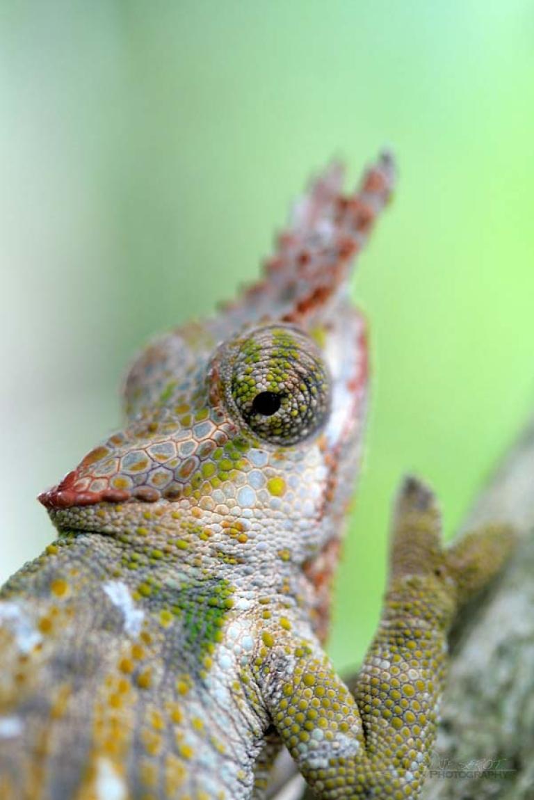 Chamaeleonidae – Tanzanie
