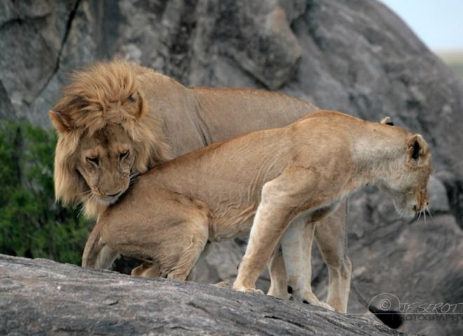 Lion d'Afrique 3 / 5