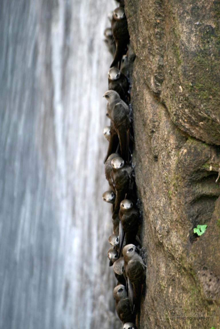 Martinets à tête grise (Cypseloides senex) – Brésil