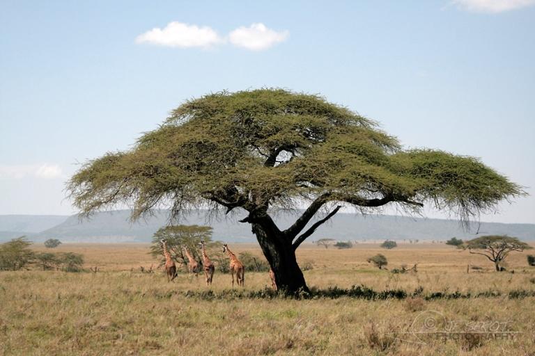 Savane et acacia au Serengeti – Tanzanie