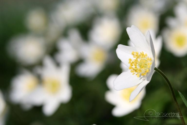 Anémone des bois (Anemone nemorosa) – France