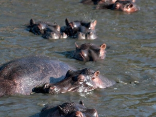 Hippopotames (Hippopotamus amphibius) – Tanzanie