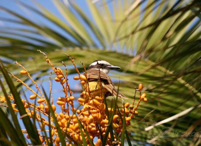 Tyran quiquivi (Pitangus sulphuratus) – Argentine