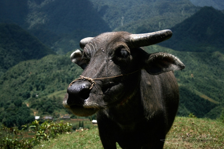 Buffle d'Asie (Bubalus bubalis) – Viêt Nam