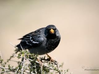 Phrygile petit-deuil (Phrygilus fruticeti) – Argentine