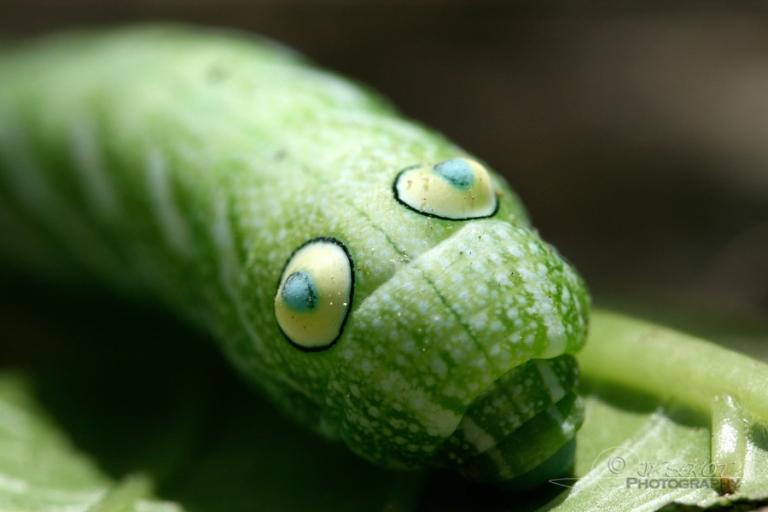 Dans les yeux, Papilionoidea – Viêt Nam