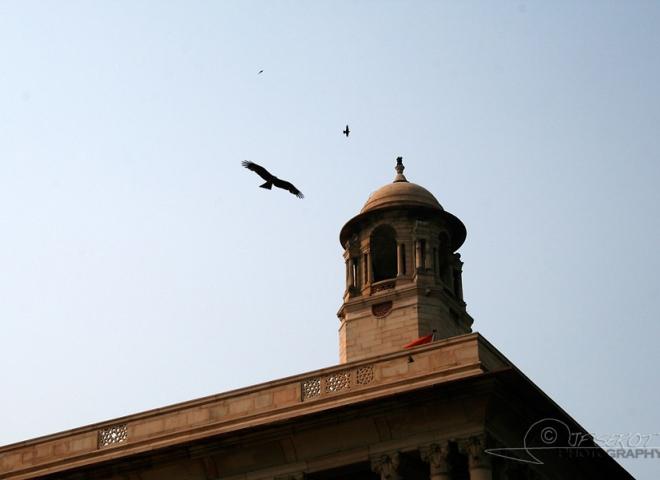 Milan noir (Milvus migrans) – Inde