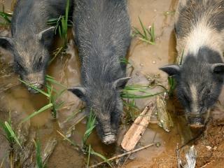 Les trois petits cochons – Viêt Nam