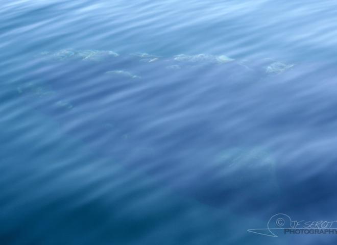 Baleine franche australe 5 / 5