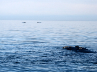 Baleine franche australe (Eubalaena australis) – Argentine