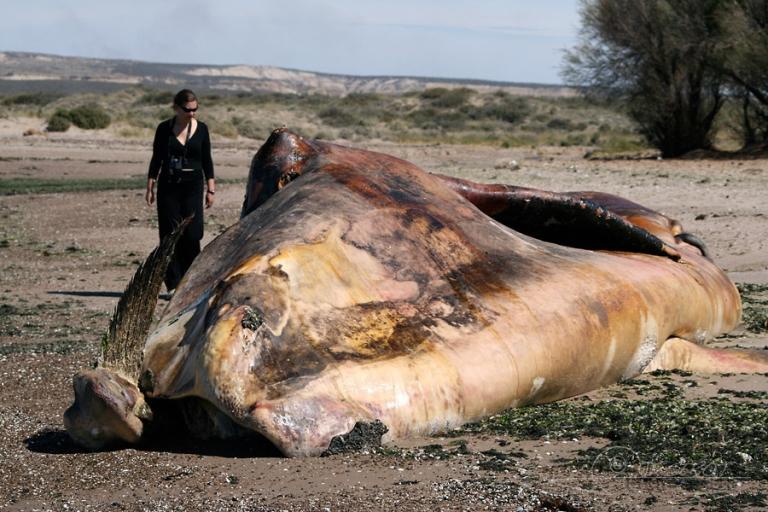 Echouage de baleine – Argentine
