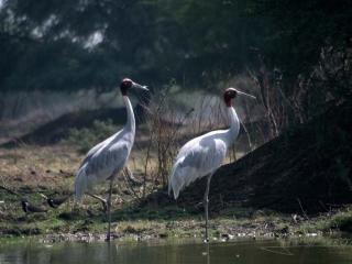 Grue antigone (Sarus Crane) – Inde
