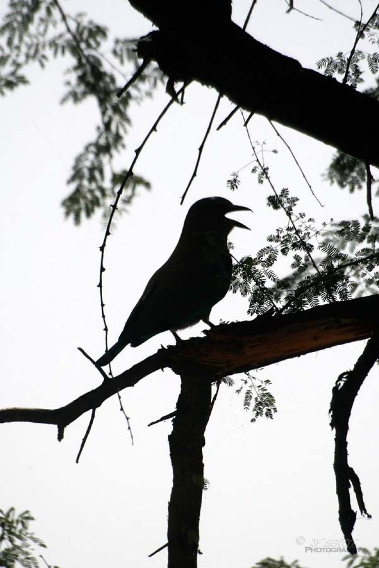 Rollier indien (Coracias benghalensis) – Inde