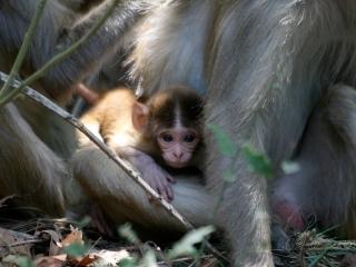 Macaque rhesus (Macaca mulatta) – Inde