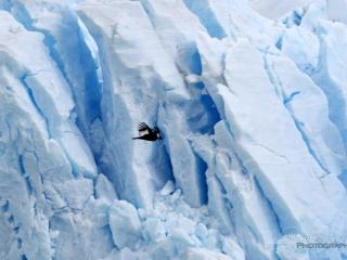 Condor des Andes (Vultur gryphus) – Argentine