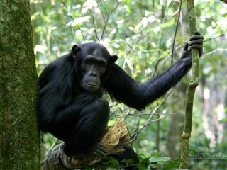 Chimpanzé commun (Pan troglodytes) – Ouganda