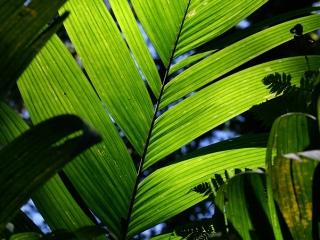 Leaf – Guatemala