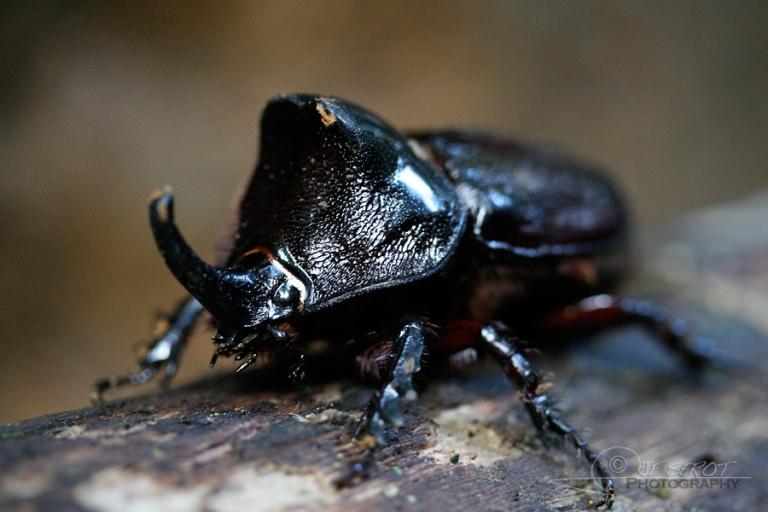 Scarabée rhinocéros (Oryctes nasicornis) – Guatémala