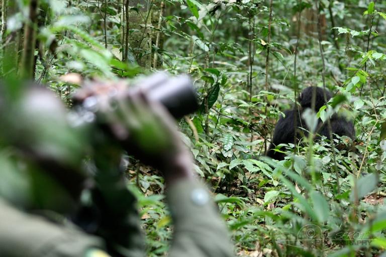 Humain et chimpanzé, divergence – Ouganda