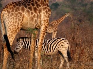 Tendances Girafe et Zèbre – Afrique du Sud
