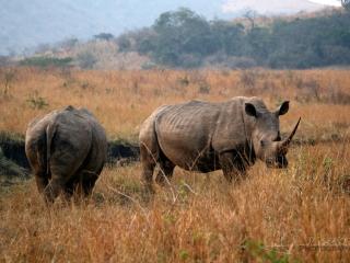 Rhinocéros blanc (Ceratotherium simum) – Afrique du Sud