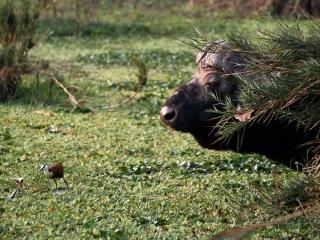 Buffle d'Afrique (Syncerus caffer) – Afrique du Sud