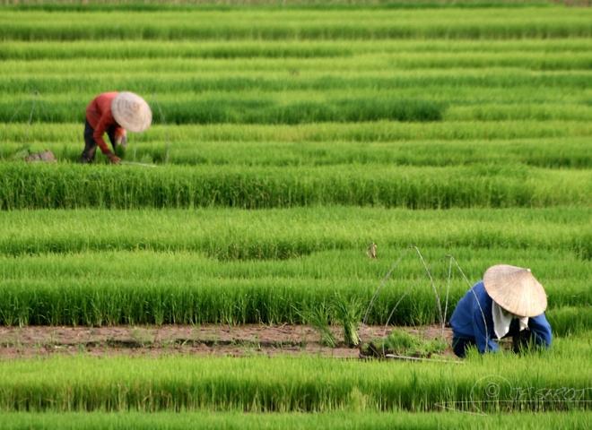 Partie de riz – Viêt Nam