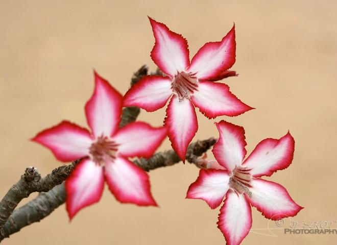 Rose du désert (Baobab chacal) – Afrique du Sud