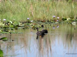 Canard à bec jaune (Anas undulata) – Ouganda