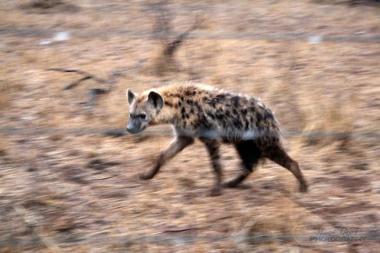 Hyène tachetée (Crocuta crocuta) – Afrique du Sud