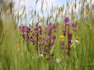 Orchis à fleurs lâches (Anacamptis laxiflora) – France