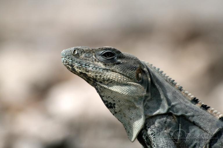 Iguane vert (Iguana iguana) – Mexique
