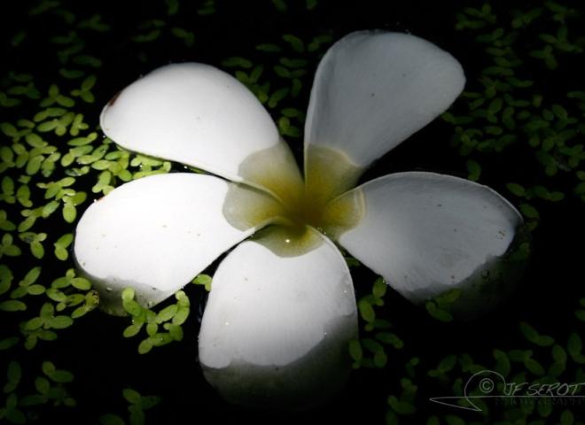 Frangipanier (Plumeria acuminata) – Cambodge