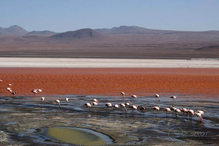 Flamant de James (Phoenicoparrus jamesi) – Bolivie