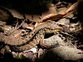 Lacertidae – Guatemala