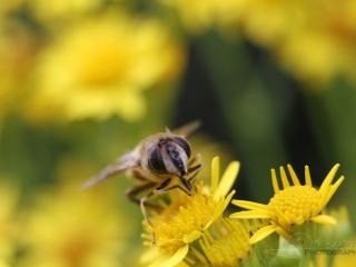 Syrphidae – France