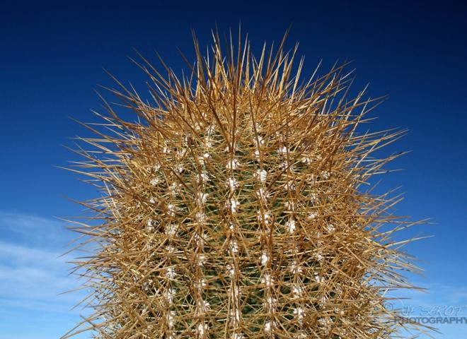 Piquant de cactus – Bolivie
