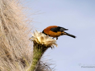 Phrygile à tête noire (Phrygilus atriceps) – Bolivie