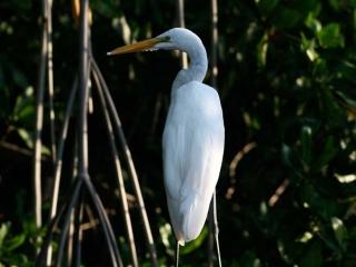 Grande Aigrette (Egretta alba) – Mexique