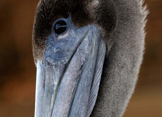 Pélican brun (Pelecanus occidentalis) – Mexique