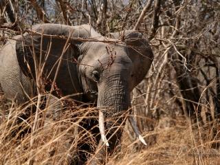 Éléphant d'Afrique (Loxodonta africana) – Zambie