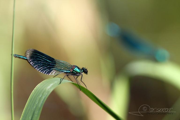 Caloptéryx éclatant (Calopteryx splendens) – France