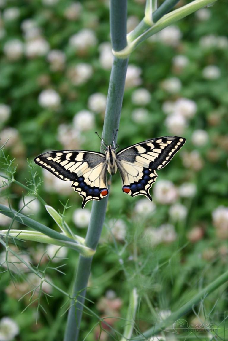 Machaon (Papilio machaon) – France