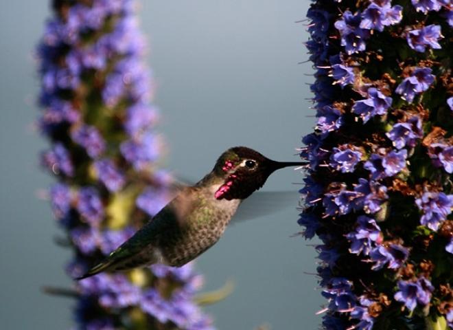 Allen's Hummingbird 2 / 5