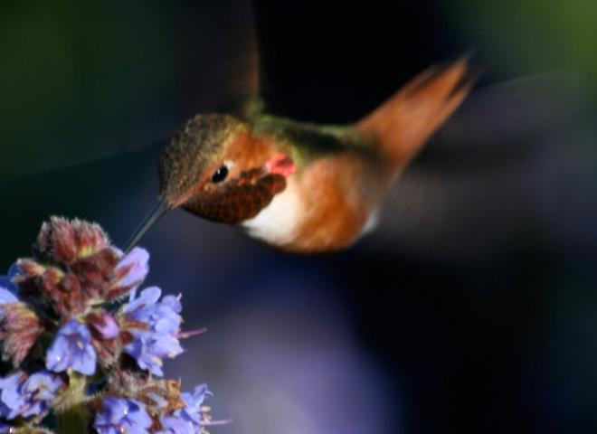 Colibri d'Allen (Selasphorus sasin) – Californie