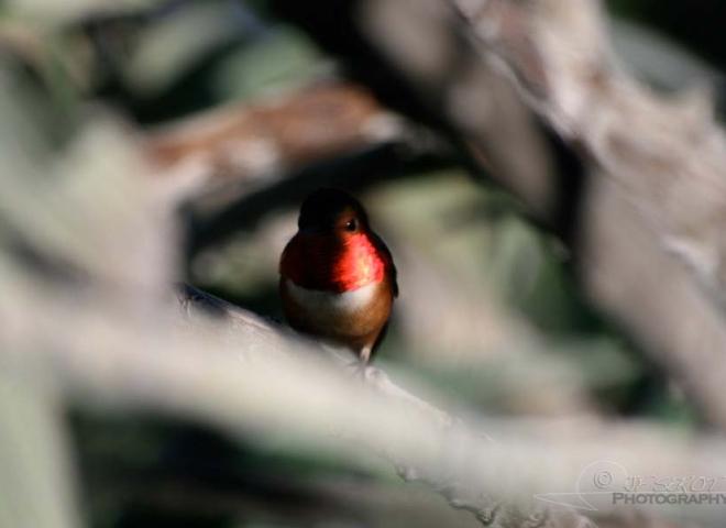 Bijou de colibri – Californie