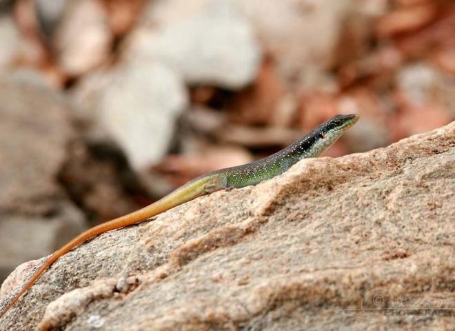 Lézard plat commun (Platysaurus intermedius) – Malawi