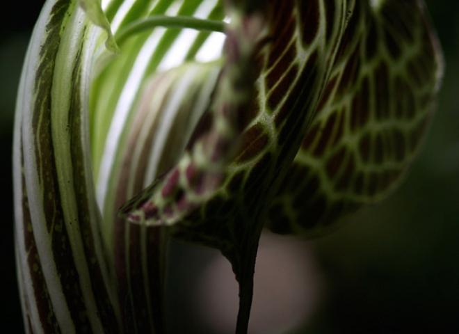 Araceae, Arum – Népal
