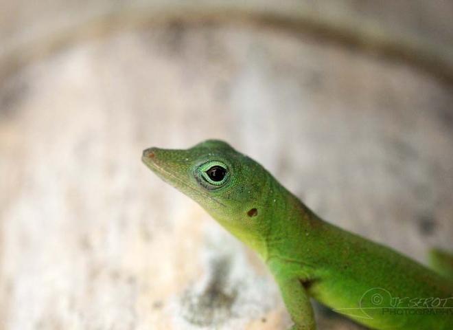 Geckos des caraïbes – Jamaïque